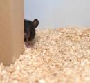ネズミはかくれんぼが好き 人間に見つけられると超音波で笑う