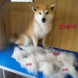 『犬の換毛の季節 春到来!当サロンでは換毛料金は無料です☆』の画像