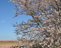 『TOBUの桜』の画像