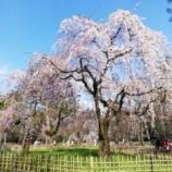 『京都御苑に桜を見に行ってまいりました。』の画像