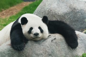 「パンダの経済効果は300億を超える!?」「実は肉食!?」「人間による保護が無かったら絶滅している!?」 パンダについて詳しく・・・
