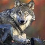 『オオカミに対する誤解』の画像