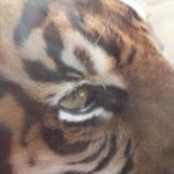 『野良の虎』の画像