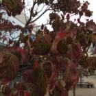 『【植物】街路樹の紅葉でカメラの機能比較【写真あり】』の画像