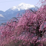 『花の春、到来』の画像
