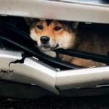 『【奇跡が起こった】車のバンパーに挟まれた柴犬が45分の死のドライブへ』の画像