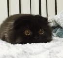 【画像】まっくろくろすけ みたいな猫が発見される!!