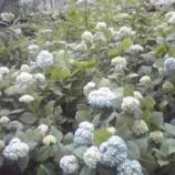 『まもなく満開・万葉の花の道』の画像
