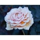 『五月の薔薇』の画像