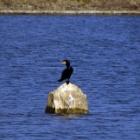 『【鳥】湖のカワウと湖の風景【写真あり】』の画像