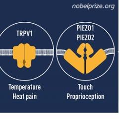 2021年ノーベル生理学・医学賞 デビッド、アーデム「温度と触覚の受容体の発見」