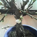 『梅、咲きました』の画像