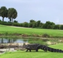 フロリダ州恒例 ゴルフ場に巨大なワニが出没し話題に