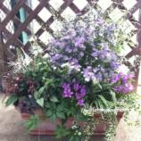 『大輪八重咲きアスターと斑入りカリガネソウの秋色な寄せ植え』の画像