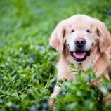 『生まれつき盲目のセラピー犬「スマイリー」』の画像