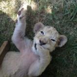 『「カルパ」ライオン狩りのための繁殖』の画像