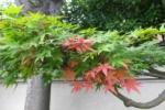 初夏に彩る紅葉が風流だ!【写真投稿:ちーちゃんさん】
