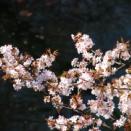 桜の花を見て想う