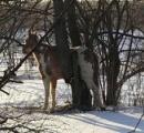 厳寒の米インディアナ州で馬が木にはさまって立往生 凍死寸前のところを保安官が救出