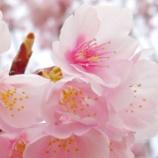 『【写真】早めの桜と、梅。 (Xperia Xc)』の画像