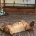 イヌが床に寝転んでいた。暇だから輪っかのオモチャで遊ぼうかな。…えいっ! → 犬、ミラクルです…