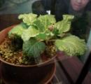 抜いてみたい? 伝説の植物「マンドラゴラ」展示