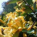 『ジャスミンの花が咲くころ「我が家の四季」』の画像