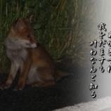 『夜のアカギツネ』の画像