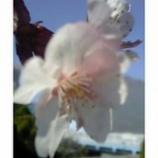 『青空のなかの花びら』の画像