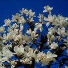 『KAMLAN50mmF1.1で感じた2021春&今日の哲学堂桜情報 2021/03/22』の画像