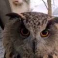 【ネコ】 フクロウを撮っていたら後ろに猫がやってきた。そこにいるのは猛禽類さんですかにゃ? → 猫の顔はこうなった…