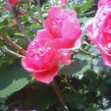 『バラが咲いた』の画像