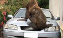 200kgのアザラシがトヨタ車のボンネットの上で昼寝した結果www