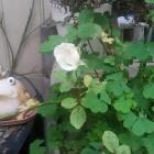 『(´-ω-`)秋の薔薇』の画像