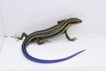 「日本が世界に誇れる生き物ってニホントカゲくらいだと思う」 日本固有の爬虫類について