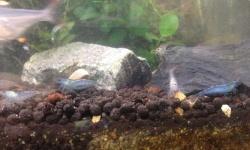 【画像】飼ってるエビに青色の個体が現れるようになった