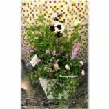 『バラとチョコレートコスモスの寄せ植え(池袋サンシャイン・ローズガーデン)』の画像