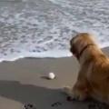 イヌと海にやってきた。波打ち際にボールが転がってしまう → 犬はこうなる…