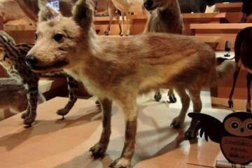 ニホンオオカミの剥製www 犬にしか見えない件