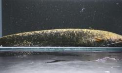 新種のナマズ発見、「タニガワナマズ」と命名、国内4種目に 1961年以来の発見