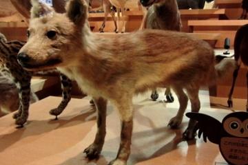 【ニホンオオカミ】オオカミとヤマイヌの混乱に加え野良日本犬が混じってカオスなオオカミ事情 いい案ないの?