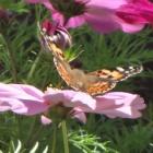 『蝶が庭に来るのは何故か花だけじゃない植物との関係』の画像