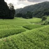 『棚田も稲穂が出揃い登熟始まりました』の画像