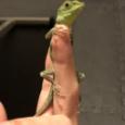 【画像】イモリかヤモリさん、俺ん家に出没する。 #両生類 #爬虫類