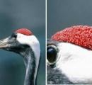 【画像】鶴の頭の赤い部分wwwwwwwwwwwwwwwwwwwwwwwwwww