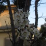『3月の梅』の画像