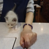 テーブルの上で遊ぶうちの子猫「レオン」の写真