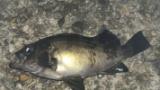 ニートワイが夜釣り来たけどお魚釣れたで(※画像あり)