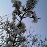 『お彼岸と青空と桜』の画像