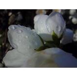 『朝露の雫』の画像